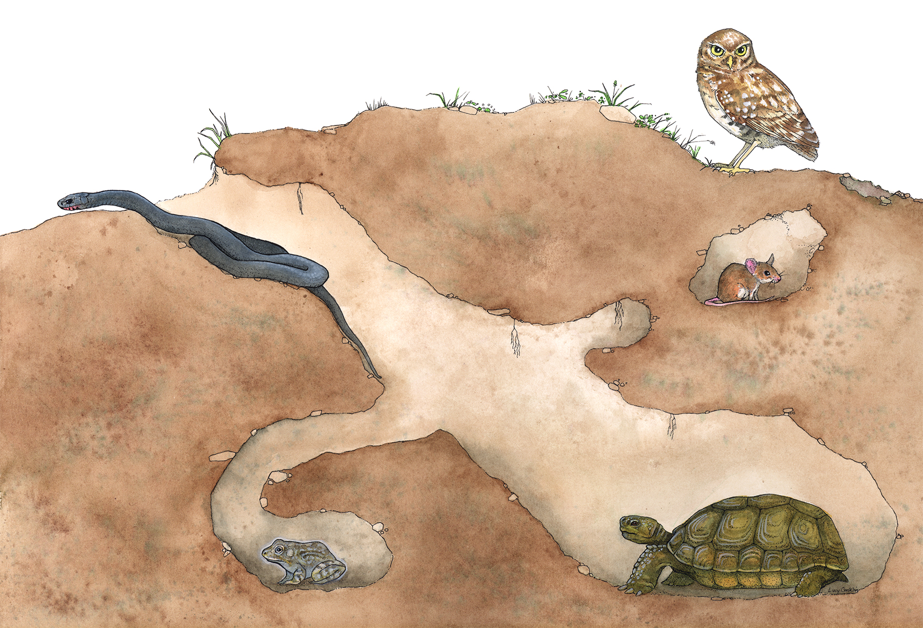 lucy conklin illustration gopher tortoise burrow armadillo clip art for commercial use armadillo clip art free