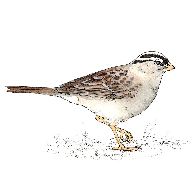 white crowned sparrow painting watercolor